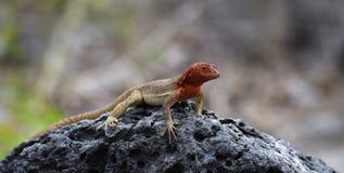 Jaszczurka na Galapagos wyspach Zdjęcie Stock