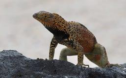 Jaszczurka na Galapagos wyspach Zdjęcie Royalty Free