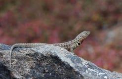 Jaszczurka na Galapagos wyspach Obraz Royalty Free