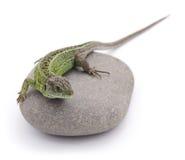 Jaszczurka na kamieniu Obraz Royalty Free