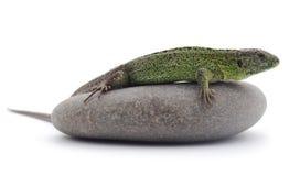 Jaszczurka na kamieniu Zdjęcie Stock