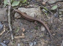 Jaszczurka na kamieniu Zdjęcie Royalty Free