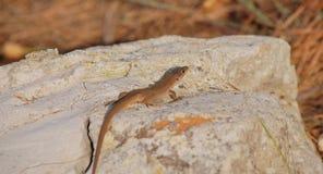 Jaszczurka na kamieniu obrazy royalty free