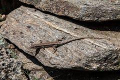 Jaszczurka na kamieniu w lecie Zdjęcie Stock