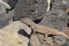 Jaszczurka na kamiennym gorącym dniu fotografia royalty free