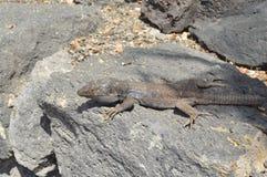 Jaszczurka na kamiennym gorącym dniu zdjęcia royalty free