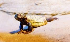 jaszczurka na piasku, plamy tło Kontakt wzrokowy obraz stock