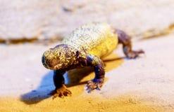 jaszczurka na piasku, plamy tło Kontakt wzrokowy zdjęcie stock