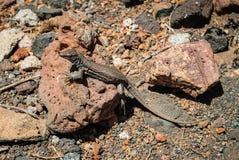 Jaszczurka na powulkanicznym kamieniu Obrazy Royalty Free