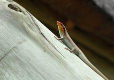Jaszczurka na promieniu Obrazy Royalty Free