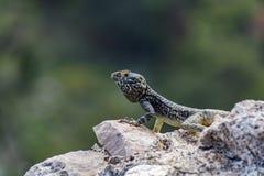 Jaszczurka na średniowiecznych ruinach, Rhodes wyspa, Grecja Obrazy Stock