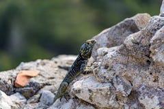 Jaszczurka na średniowiecznych ruinach, Rhodes wyspa, Grecja Obraz Royalty Free