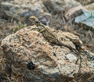 Jaszczurka na skale Obraz Royalty Free
