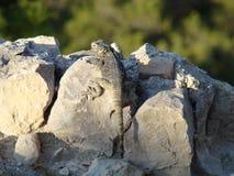 Jaszczurka na skale Obrazy Royalty Free