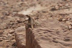 Jaszczurka na skale Obrazy Stock