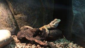 Jaszczurka na skale zdjęcie wideo