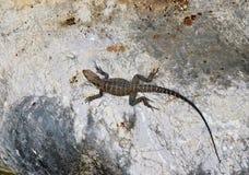 Jaszczurka na skale Gad w naturze Zdjęcie Royalty Free