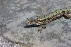 Jaszczurka na skale pod słońcem fotografia royalty free