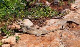 Jaszczurka na skale przy wyspą Delos w Cypr Obrazy Stock