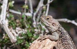Jaszczurka na skale przy wyspą Delos w Cypr Obraz Royalty Free