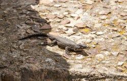 Jaszczurka na skale w Afryka Zdjęcia Royalty Free