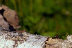 Jaszczurka na spadać drzewie Zdjęcia Stock