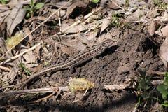 Jaszczurka na trawie Zdjęcie Royalty Free