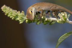 Jaszczurka na trzonie Obrazy Stock