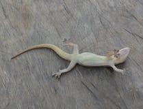 Jaszczurka nieżywa Obrazy Royalty Free