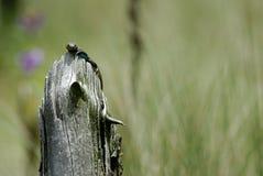 Jaszczurka ogl?da intruza Meksyk zdjęcie royalty free