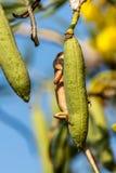 Jaszczurka (orientał ogrodowa jaszczurka) na drzewie Fotografia Stock