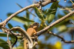 Jaszczurka (orientał ogrodowa jaszczurka) na drzewie Obrazy Royalty Free