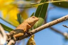 Jaszczurka (orientał ogrodowa jaszczurka) na drzewie Zdjęcie Stock