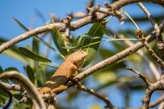 Jaszczurka (orientał ogrodowa jaszczurka) na drzewie Obraz Royalty Free