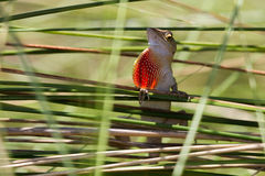 Jaszczurka osiąga szczyt przez zasłony trawa Obraz Stock