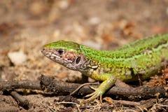 jaszczurka piasek Zdjęcie Stock