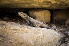 Jaszczurka pod kamieniem w pustyni Obrazy Royalty Free