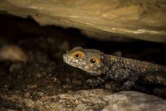 Jaszczurka pod kamieniem w pustyni Zdjęcie Stock
