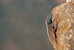 Jaszczurka portret Zdjęcie Stock