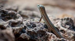 Jaszczurka przy Ibiza Fotografia Stock