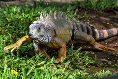 Jaszczurka przy Ubud zoo, Bali, Indonezja Obrazy Stock