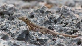 Jaszczurka przy Westpoint Curacao obraz royalty free