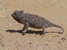 jaszczurka pustynny piasek Obrazy Stock