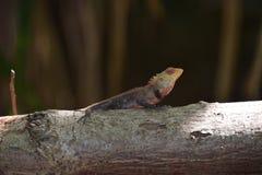 Jaszczurka relaksuje na drzewie Obraz Royalty Free