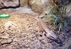 Jaszczurka Skink Zdjęcie Royalty Free