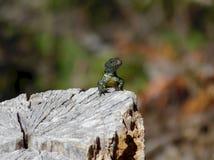 Jaszczurka sunbathing na drzewnym fiszorku obraz royalty free