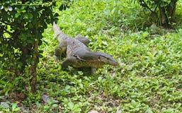 Jaszczurka w Bangkok zdjęcia stock