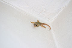 Jaszczurka w ścianie Fotografia Royalty Free