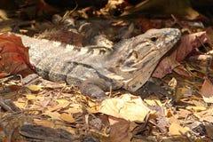 Jaszczurka w Costa Rica Fotografia Royalty Free