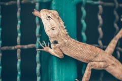 Jaszczurka w klatce obrazy stock